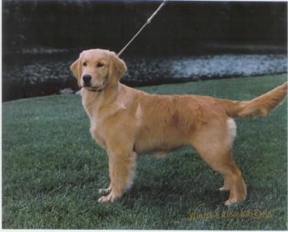 Goldenwind Golden Retrievers Available Puppies