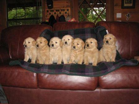 Couchpuppies Goldenwind Golden Retrievers