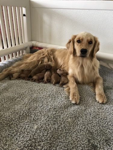golden retriever texas goldenwind golden retrievers texas golden retriever puppies 3543